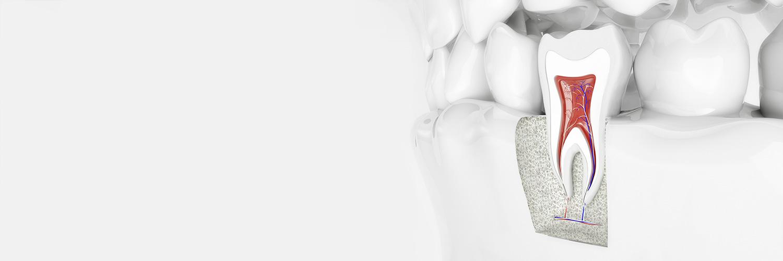 Aufbau eines Zahns mit Zahnwurzel - Endodontie